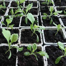 Plant Aubergine