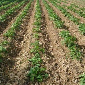 Levée des pommes de terre