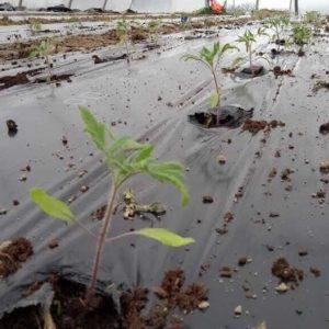 tomate planté fin mars en serre