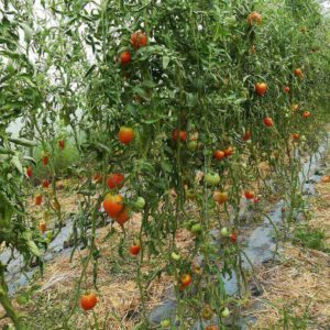 production de la tomate