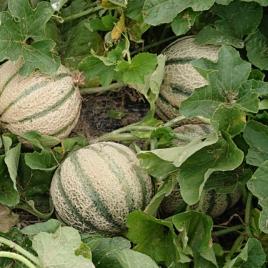 Melon-pièce