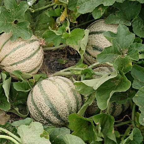 producteur-melon-ariege