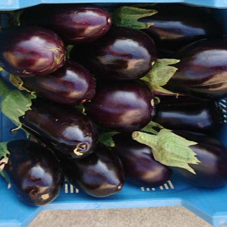 producteur-aubergine-ariege