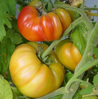 producteur-tomate-ananas-ariege