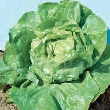 Salade Laitue Blonde