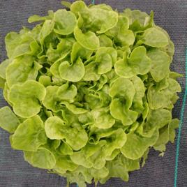 Salade  Feuille de Chêne (retour à l'automne)