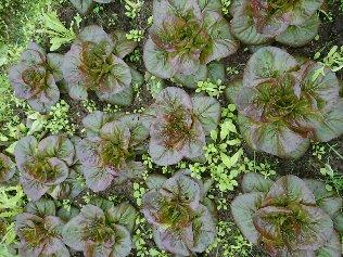 Salades Rougette- retour à l'automne-