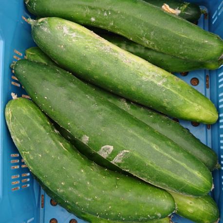 producteur-concombre-ariege