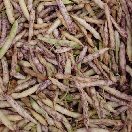 producteur-haricot-coco-frais-ariege
