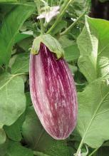 Plant Aubergine rayée