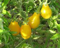 Plant de Tomate Cerise Jaune