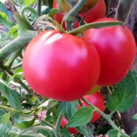 producteur-tomate-rose-de-berne-ariege